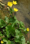 <I>Caltha palustris</I> L. var. <I>palustris</I>
