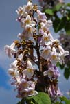<I>Paulownia tomentosa</I> (Thunb.) Steud.<br/>
