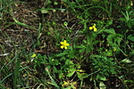 <I>Potentilla inclinata</I> Vill.