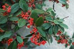 <I>Cotoneaster coriaceous</I> Franch.