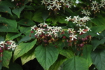 <I>Clerodendron trichotomum</I> Thunb.<br/>